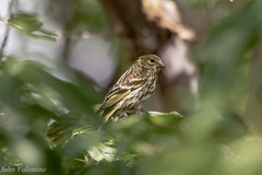 Through the leaves (jvalentine300) Tags: pinesiskin finch