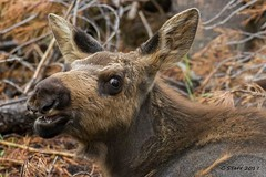 IMG_0675 moosing around (starc283) Tags: flickr flicker starc283 canon canon7d forest flora nature naturesfinest wildlife colorado moose moosecalf