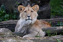 Young african male lion - Olmense Zoo (Mandenno photography) Tags: dierenpark dierentuin dieren animal animals olmense olmensezoo olmen african afrikaanse lion lions leeuw leeuwen