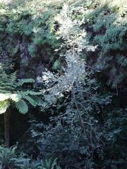 Southern Sassafras (Atherosperma moschatum subsp. integrifolium) (Poytr) Tags: atherospermataceae atherospermamoschatum atherospermamoschatumsubspintegrifolia southernsassafras leuransw bluemountainsnationalpark bluemountains arfp nswrfp tree warmtemperatearf cyathea worldheritagesite atherosperma threatenedspecies