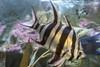 001025-P2187892 (aussiephil1960) Tags: em12 em1markii sydneyaquarium fish olympuszd1260mmf2840
