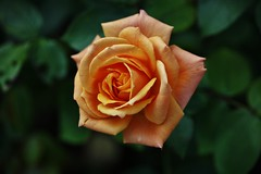 Sunday Rose (Hugo von Schreck) Tags: hugovonschreck rose flower blume blüte macro makro canoneos5dsr tamron28300mmf3563divcpzda010