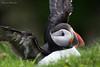 Puffin, Noss, Shetland June 2017 (conrad_hanchett) Tags: puffin noss shetland shetlandislands sigmalenses nikon june nikond500 2017 tamienorrie