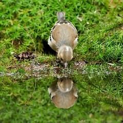 Vink - Fringilla coelebs (wimberlijn) Tags: vink fringillacoelebs vogel zangvogel natuur nationaleparkdehogeveluwe finch bird songbird nature wildlife animal 0utdoor