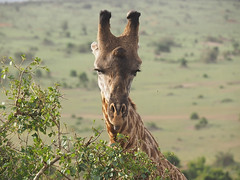 Masai giraffe (Oleg Chernyshov) Tags: masaigiraffe giraffacamelopardalistippelskirchi масайскийжираф