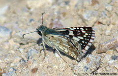 Common Checkered Skipper (Kaptured by Kala) Tags: pyrguscommunis commoncheckeredskipper skipper newspeciesforme johnbunkersandswetlandcenter seagovilletexas kaufmancounty butterfly insect bug gravel wingsclosed closedwings closeup