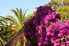 FELIZ QUINTA-FLOWER / HAPPY THURSDAY FLOWERS (heraldeixample) Tags: quintaflower thursdayflowers heraldeixample girona lloretdemar santacristina bcn spain espanya españa spanien catalunya catalonia cataluña catalogne catalogna flors flowers flores fleurs blumen blodau פרחים fiori フラワーズ blomster цветы maua 花卉 albertdelahoz