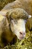 State Fair (dpsager) Tags: dpsagerphotography illinois sheep springfield statefair