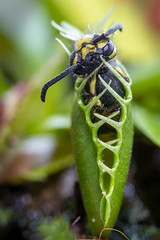 Venusfliegenfalle (w.lichtmagie) Tags: makro strobist macro wespe wasp venus flytrap info canon efs 60 mm speedlite 430 ex ii ngc dionaea muscipula fleischfressende pflanze carnivorous plant abendessen dinner