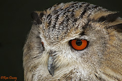 Great Horned Owl. (ronalddavey80) Tags: great horned owl bird prey canon eos70d tamron 70300mm portrait