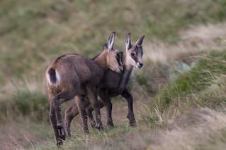 Amour fraternel chez 2 jeunes chamois - sélection