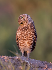 burrowing owl (knobby6) Tags: burrowingowl raptor birdofprey owl bird californis