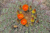 CAE001122a (jerryoldenettel) Tags: 170808 2017 barrelcactus cactaceae caryophyllales coreeudicots elephantbuttelake ferocactus ferocactuswislizenii nm sierraco wildflower cactus damsite flower