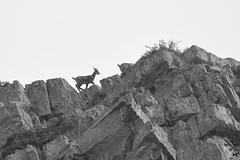 DSC_0118 (MARTIN FRED) Tags: mercantour nikon montagne lens nikon70200f28 sigma150600sport samyang1428 montains landscapephotographs nautre marmotte lac river torrent ciel faune flore chevreuil cervidés aigle vautour faons chamois papillons flowers arraigné paysage bume brouillardbrumeuxbrume chaine de panorama