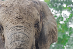 OCCHI    ----    EYES (Ezio Donati is ) Tags: elefante elephant animali animals pericolo danger natura nature africa costadavorio areagrandlahou foresta forest occhi eyes