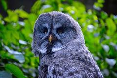 Great Grey Owl (rustyruth1959) Tags: nikon nikond3200 tamron16300mm europe germany lowersaxony walsrode weltvogelpark birdpark bird owl greatgreyowl greyowl feathers beak eyes outdoor nature greenery enclosure face gettyimages