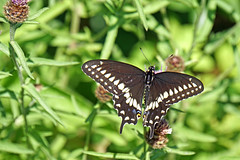 DSC08395 - Black Swallowtail Butterfly (archer10 (Dennis) 104M Views) Tags: halifax ship tall sails sony a6300 ilce6300 18200mm 1650mm mirrorless free freepicture archer10 dennis jarvis dennisgjarvis dennisjarvis iamcanadian novascotia canada black swallowtail butterfly