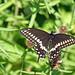 DSC08395+-+Black+Swallowtail+Butterfly