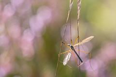 Bird food (Crane Fly - Tipula paludosa) (Tim Melling) Tags: tipula paludosa male crane fly tipulid daddy longlegs heather bokeh moorland west yorkshire peak district timmelling