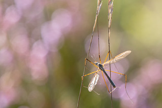 Bird food (Crane Fly - Tipula paludosa)