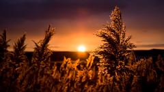 Golden Reeds.. (Ext-Or) Tags: sun sunset sunlight light nikon d5200 flickr flickrturley anatolia golden reeds goldenreeds red orange dramatic clouds flare hills goldenhour art artofthelight artofthesun extor ismailcantüfekci eurasia nature landscape sky dof depthoffield focus