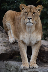 Kianga @ Artis 12-11-2016 (Maxime de Boer) Tags: kianga african lion lioness afrikaanse leeuw leeuwin panthera leo big cats katachtigen natura artis magistra zoo amsterdam animals dieren dierentuin gods creation schepping