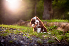 Puppy (Jannis K) Tags: dog hund welpe bearded collie wald forest tannenzapfen beardedcollie beardy puppy nature animal bokeh