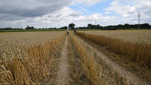 Cornfield walk