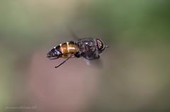Eristalis sp. in fly (fabrizio daminelli ) Tags: eristalissp syrphidae diptera dittero mosca fly insect insetto macro natura nature wild wildlife canon tamron fabriziodaminelli
