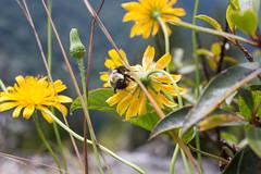 Bumble Bee and Yellow Flower (joehoeper) Tags: northcarolina blueridgemountains 828 avl pisgahnationalforest pisgah mountainstoseatrail hike appalachianmountains