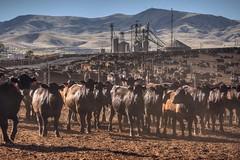 Unaware of destiny (PeterThoeny) Tags: coalinga california farm cow cattle cattlefarm backlight lightandshadows shadow outdoor dusk sunset 1xp nex6 sel55210 raw photomatix hdr qualityhdr qualityhdrphotography fav100