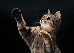 'Candy Waves' (Jonathan Casey) Tags: tabby kitten action black background nikon d810 105mm f28 vr jonathancaseyphotography