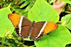 Siproeta Epaphus (Pomerol) Tags: animal nature papillon jaune orange macro da 300mm eye vert pentax k3 beaute beauté beauty butterfly couleur insecte wildlife color bordeaux green bokeh life