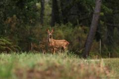 Chevreuil_4801 (lucbarre) Tags: bois forêt forest wood biche daguet cerf chevreuil faune extérieur exterior brame