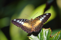 Clipper Butterfly (Koku85) Tags: butterfly catchycolors macro insect nature depthoffield