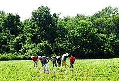IMG_0447 Migrant Workers (Cyberlens 40D) Tags: labor workers working fields migrant migration men women canon nj land agriculture