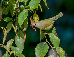 Nashville Warbler (Summerside90) Tags: birds birdwatcher nashvillewarbler september summer fall migration backyard garden nature wildlife ontario canada