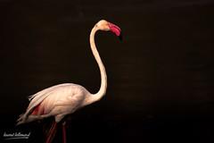 500_3574.jpg (Belzé) Tags: phoenicopteriformes phoeniconaiasminor continentsetpays afrique baringo oiseaux kenya flamantnain phoenicopteridae africa ke ken