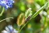 Grasshopper (Janne Fairy) Tags: grasshopper grashüpfer blue blau nature natur canon canon500d eos500d heuschrecke tier braun brown insect insekt green grün