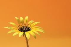 The extrovert (alideniese) Tags: flower flora daisy wildflower nature closeup stilllife 7dwf alideniese colour colourful bright yellow orange petals stamens stem light orangebackground