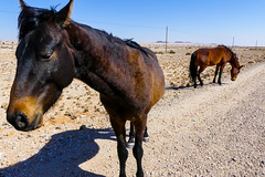 P1030020 (Seb_Jan) Tags: namibie namibia afrique africa afrika summer 2017 road trip roadtrip travel adventure holiday nature explore lumix wildlife safari picoftheday photooftheday dune desert naukluft namib wild horses chevaux sauvages aus