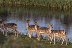 Catwalk (wimvandemeerendonk, back home) Tags: fallowdeer animal deer minoltaapo200 nature netherlands nederland noord holland waterduinen outdoors outdoor sony thenetherlands wimvandem wild golddragon topf150150199faves ngc npc