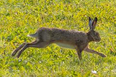 IMG_4537-4.jpg (Leo Kramp) Tags: haas bentwoud 2017 zoogdieren dieren wandelen natuurfotografie 2010s rennend