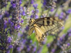 _7060012.jpg (marcol-04) Tags: france m60mmf28 macrophotographie saintetulle papillon zuikodigital insecte omdem1 zd alpesdehauteprovence provencealpescotedazur olympus macro