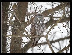 MOndaYs!.... (DTT67) Tags: greatgrayowl ggo great gray owl animals wildlife birds nature nationalgeographic mondays northamerica canon 1dxmkii 500mmii 14xtciii