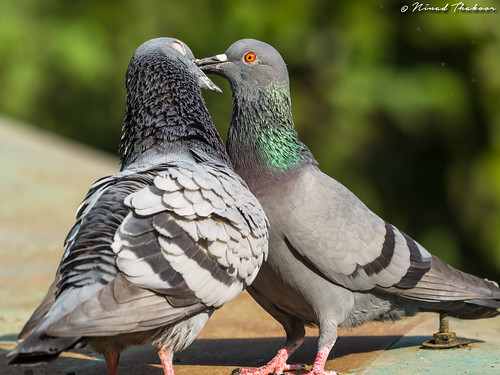 """Rock Pigeon • <a style=""""font-size:0.8em;"""" href=""""http://www.flickr.com/photos/59465790@N04/36471804943/"""" target=""""_blank"""">View on Flickr</a>"""