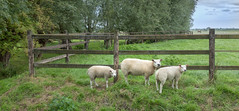 The Great Escape (Jorden Esser) Tags: middendelfland escapedsheep fencefriday field grass hff horse jordenesser landscape sheep summer trees woodenfence