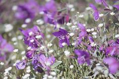 Canada. (richard.mcmanus.) Tags: canada nunavut fireweed baffinisland arctic flowers mcmanus iqaluit