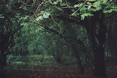 Woods 3 (avenwildsmith) Tags: film 35mm nature devon countryside analog analogue kodak retinette 1b grain england britain wild wilderness forest wood woods plant plants trees tree dark shadow shade shadowy leaves twigs branches green 35mmfilm kodakretinette1b