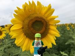 2017-225 - Sunflowers